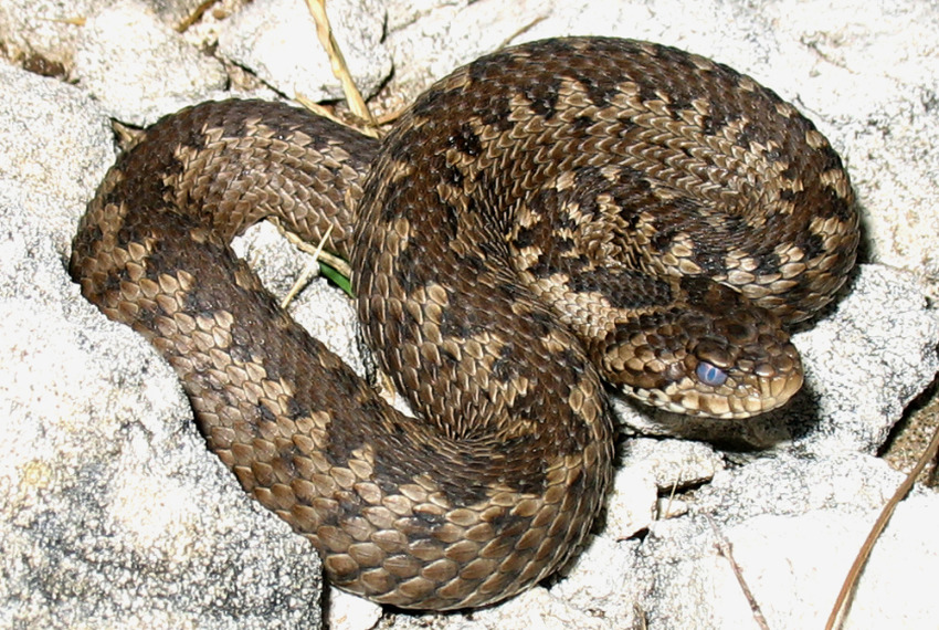 Змеи Ад�геи